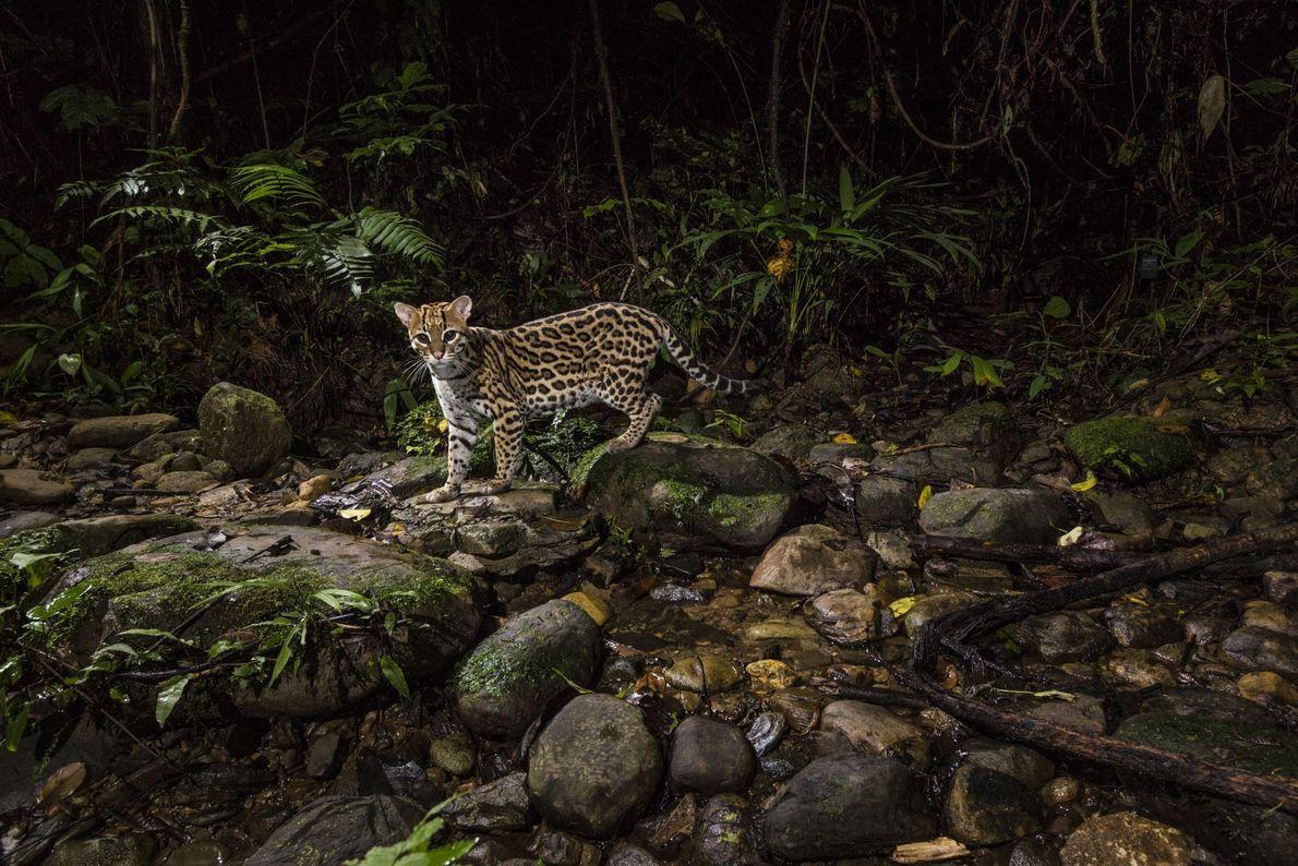 Jaguatirica na floresta