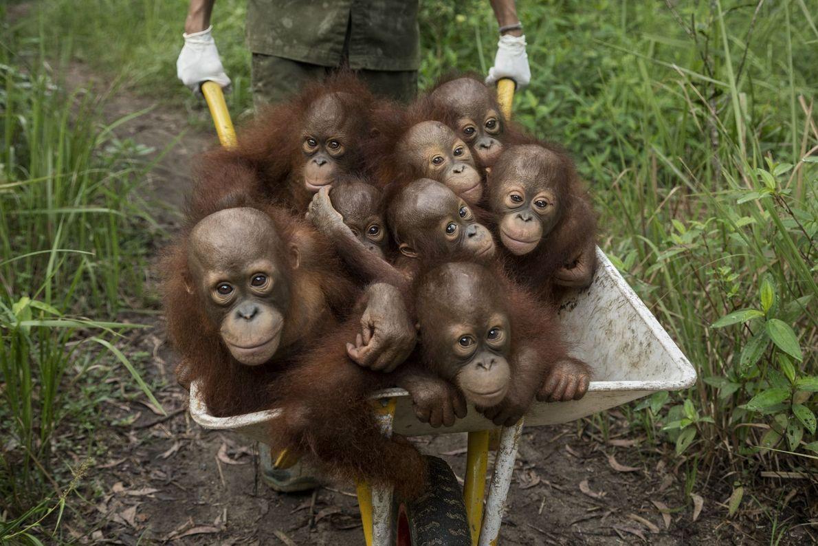 Orangotangos em carrinho de mão