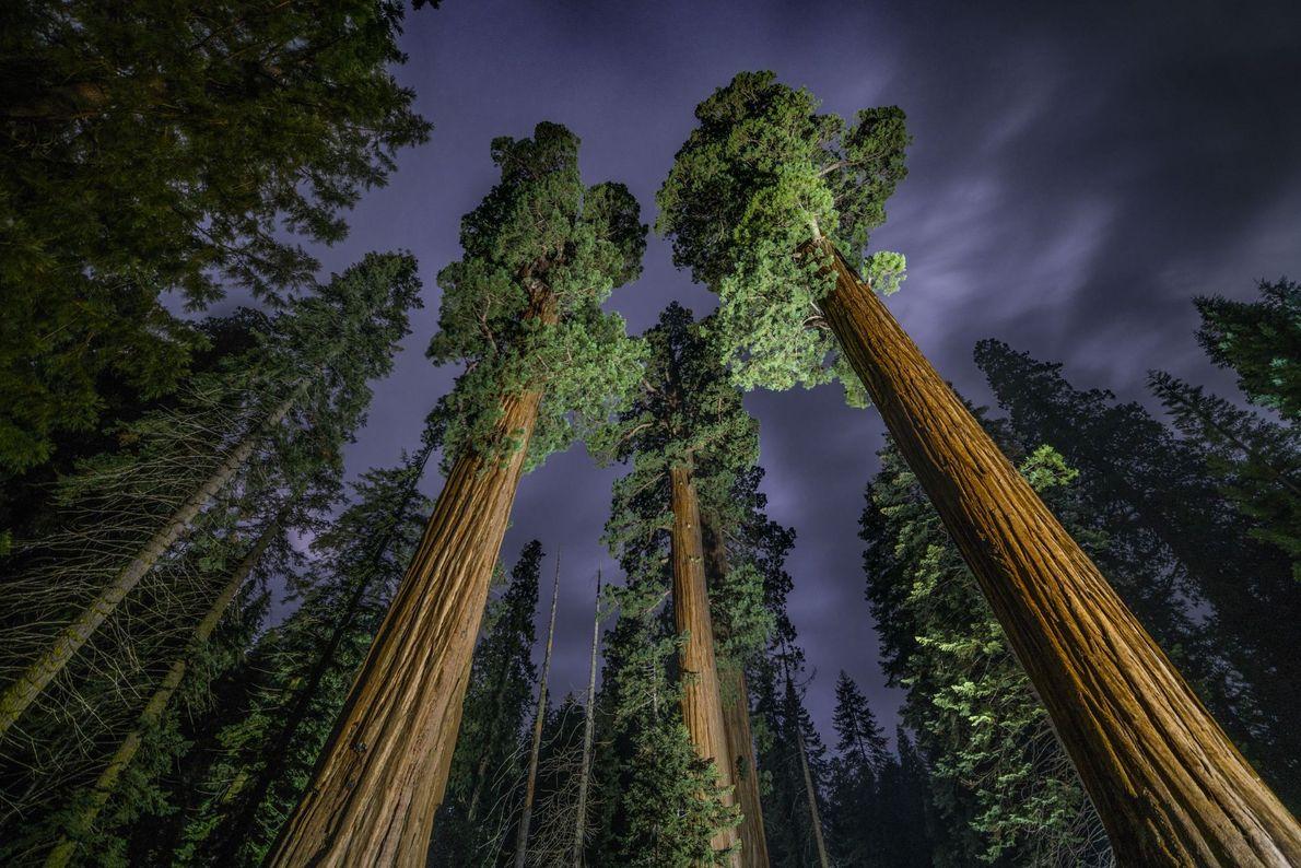 Sequoias sobre céu noturno
