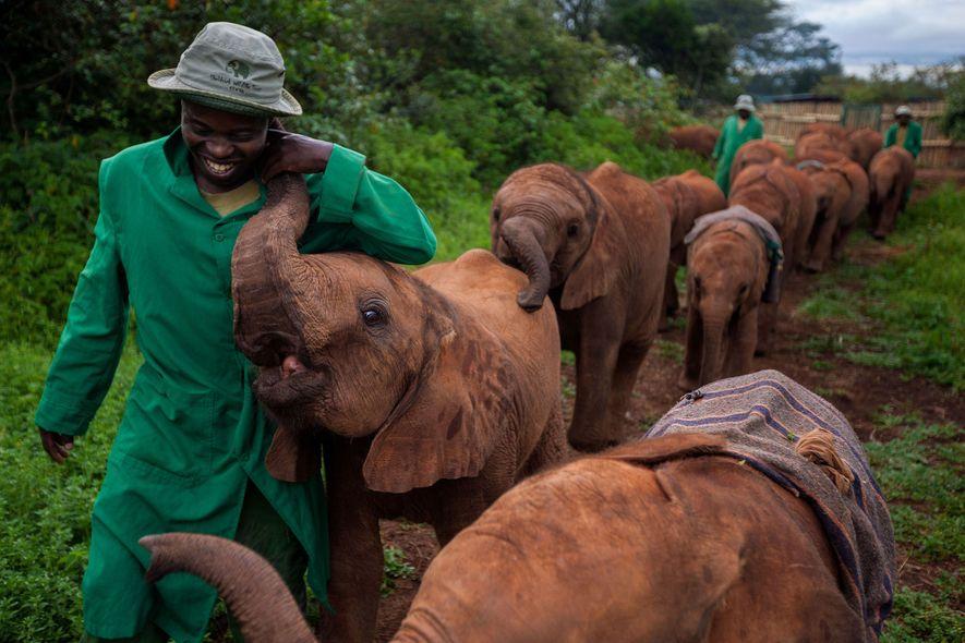 Elefantes orfãos do Berçário de Elefantes de Nairobi – da Fundação de Vida Selvagem David Sheldrick …