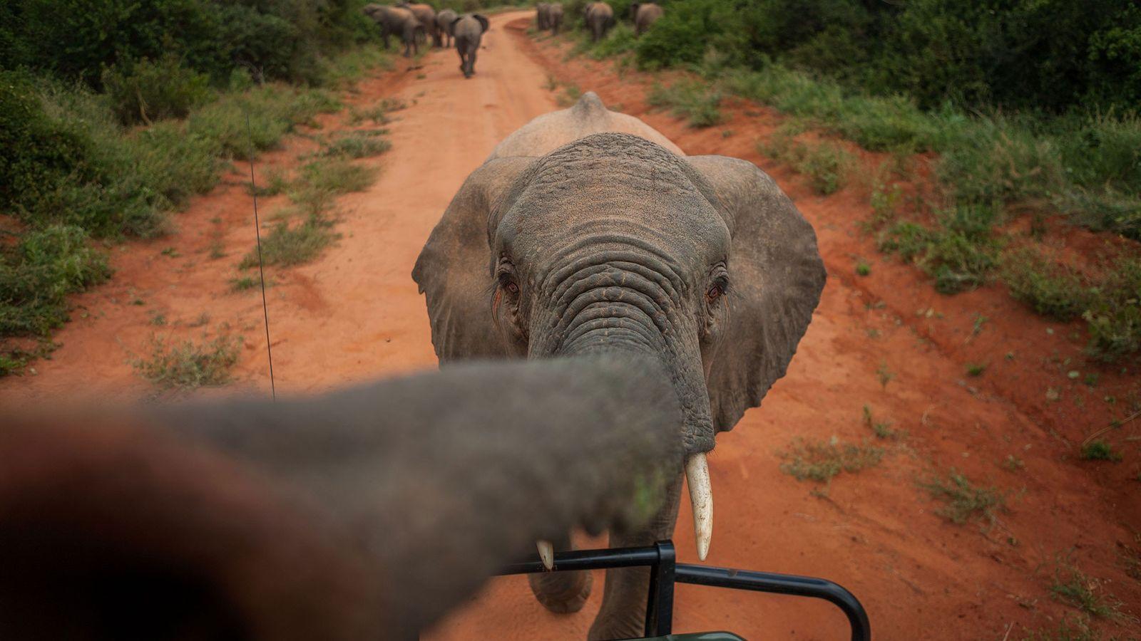 Wendi, uma elefante órfã, se aproxima do carro do fotógrafo no Parque Nacional de Tsavo East, ...