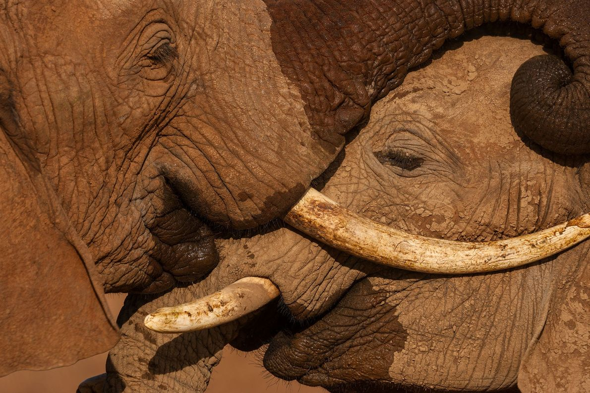 nichols-elefantes