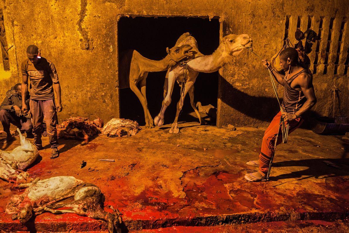 Compradores escolhem animais no mercado e os enviam para este abatedouro em Agadez, Níger, onde camelos, ...