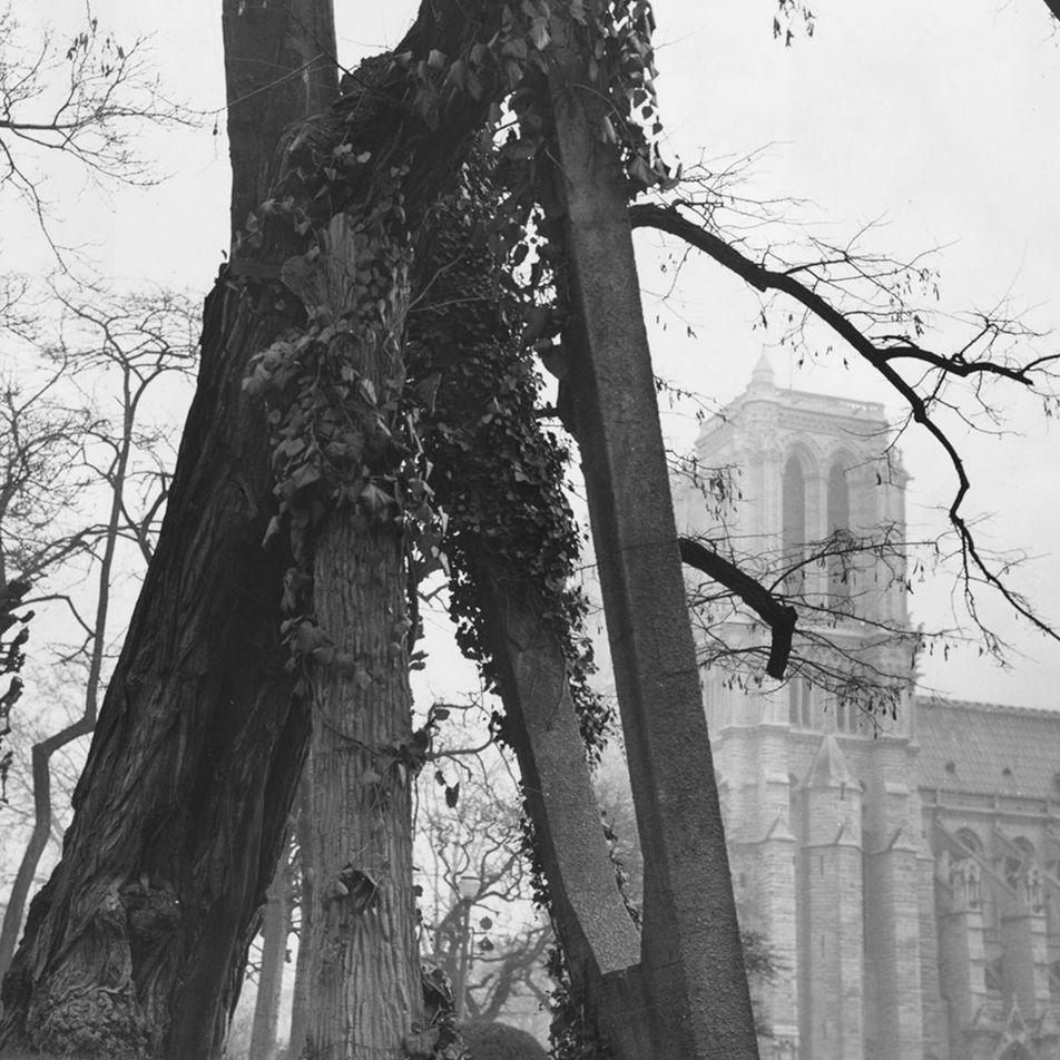 O que podemos aprender com a árvore mais antiga de Paris