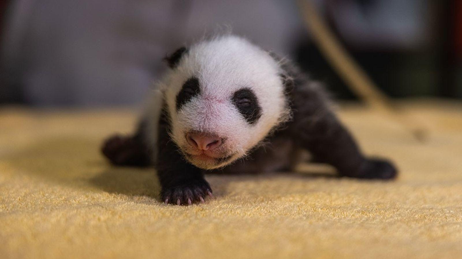 Os pandas nascem sem suas marcas características em preto e branco, que logo aparecem, como observado ...