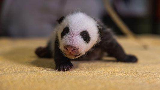 Como é o desenvolvimento dos pandas-gigantes, que nascem cegos, rosados e indefesos