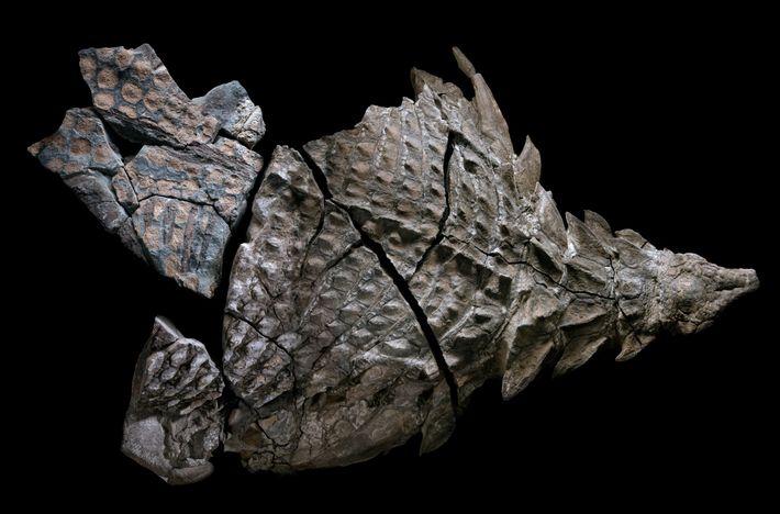 Durante a vida, o nodossauro tinha mais de 5 metros de comprimento e pesava 1300 quilos. ...