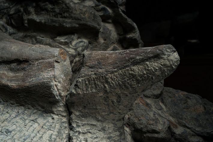 ponta-espinha-nodossauro