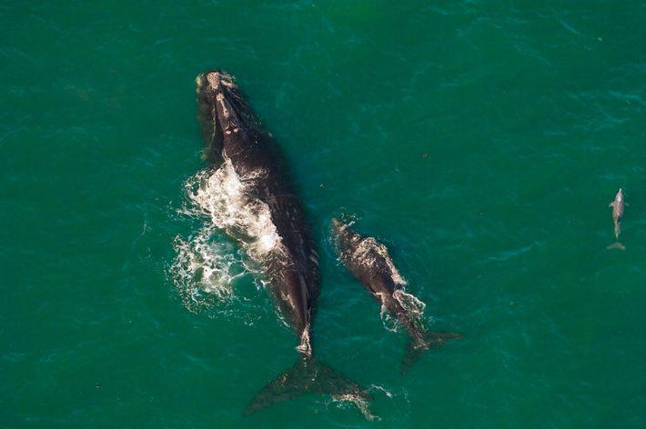 Baleia-franca-do-atlântico-norte fêmea e seu filhote. Restam menos de 400 desses animais gravemente ameaçados de extinção.
