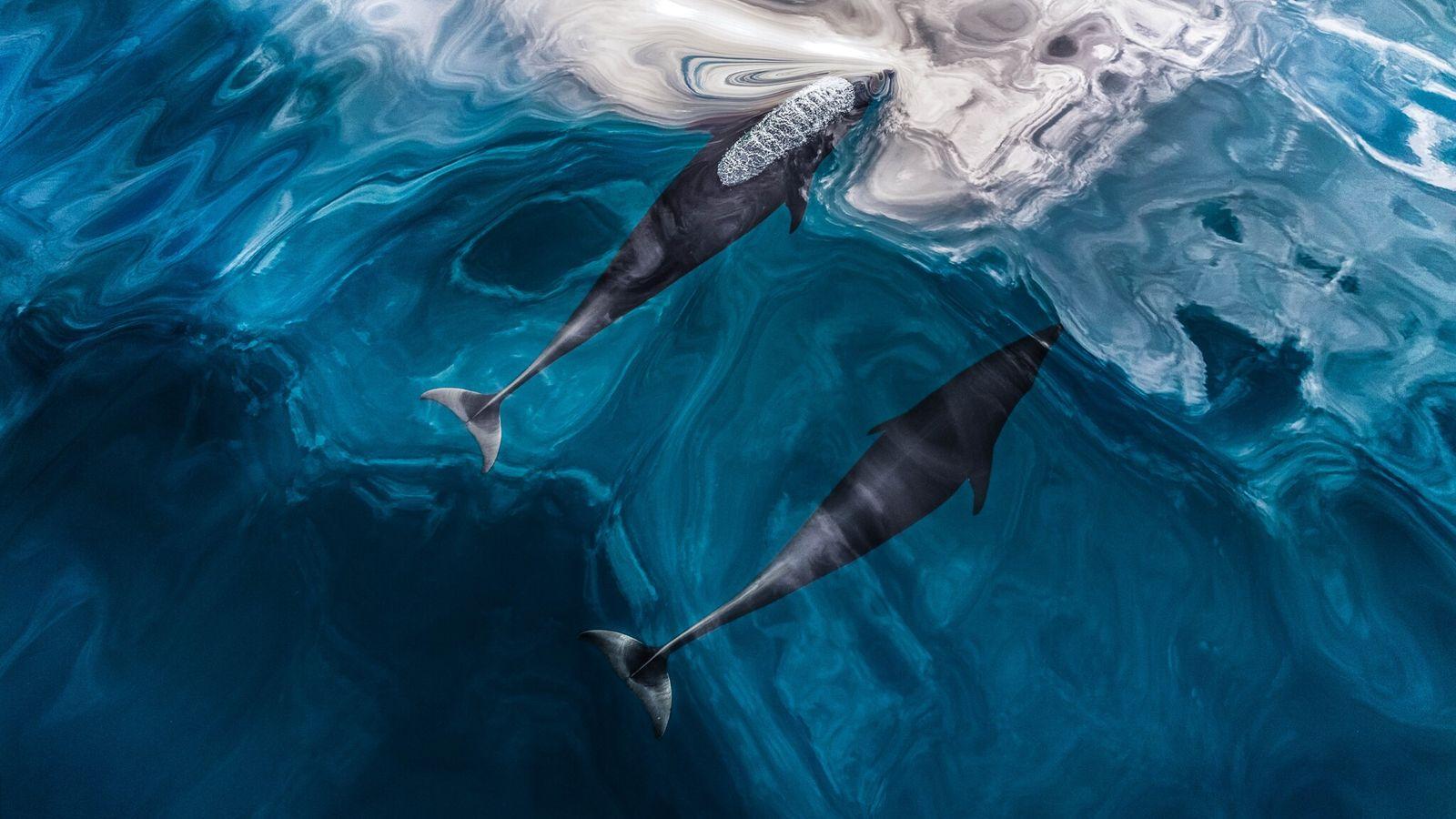Golfinhos-lisos-do-norte nadam na superfície próximo à Colúmbia Britânica, no Canadá. A ecolocalização é uma estratégia lógica ...