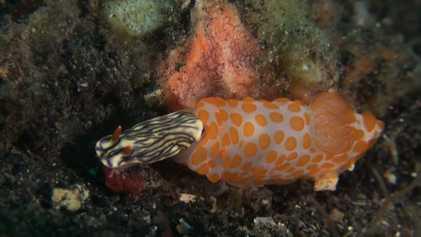 Estas belas lesmas-do-mar podem ser canibais impiedosos