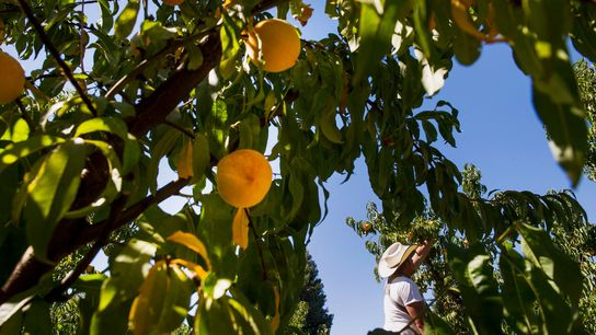 Um fazendeiro colhe pêssegos em uma fazenda da Califórnia.