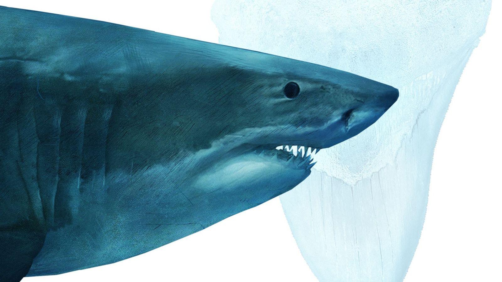 Os megalodontes reinavam nos oceanos primitivos. As enormes criaturas chegavam a 18 metros de comprimento e ...