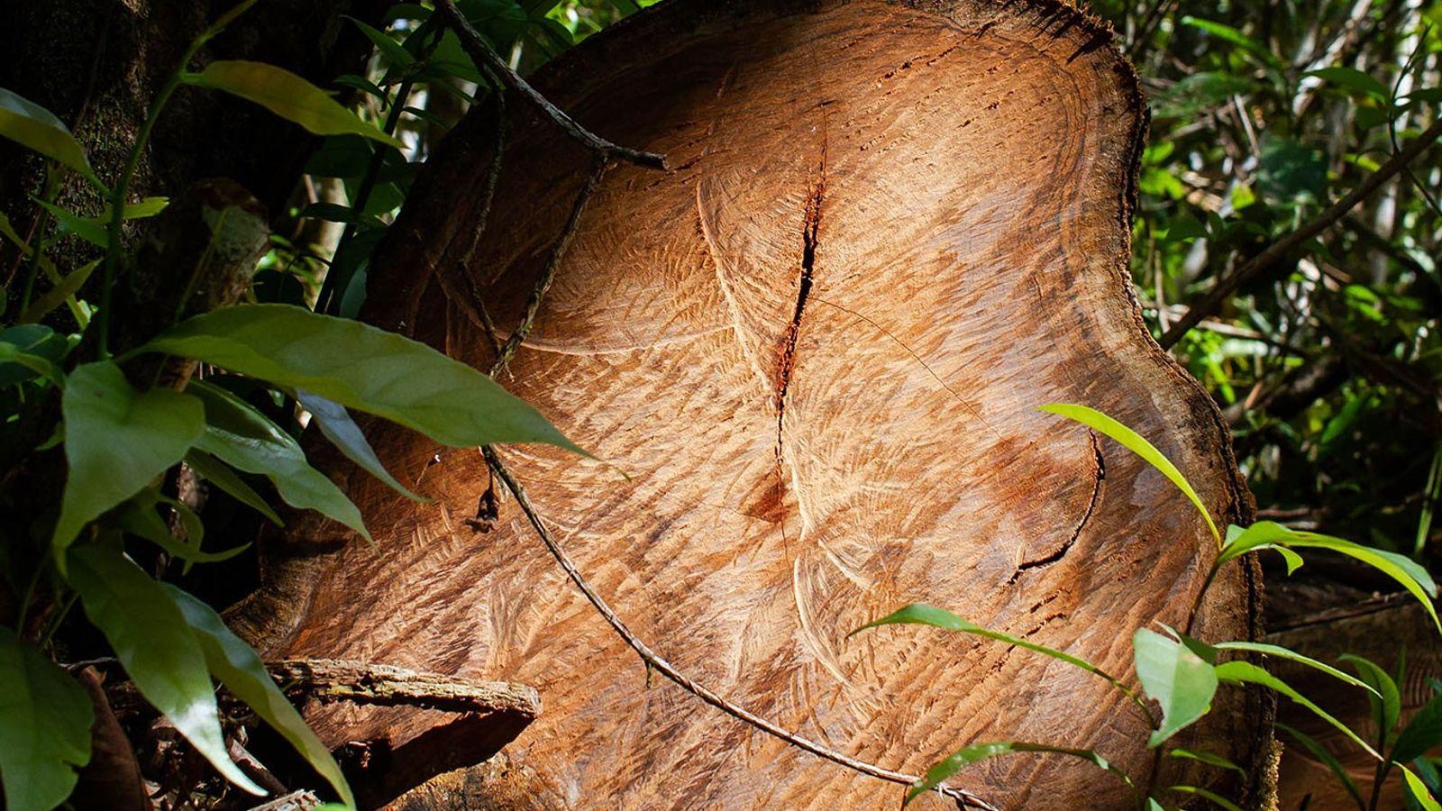 O jacarandá, durável e aromático, usado na produção de móveis e instrumentos musicais, é o produto ...