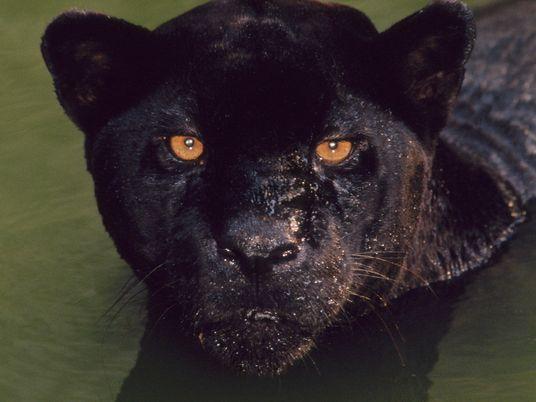 As panteras negras se beneficiam da cor escura? Depende