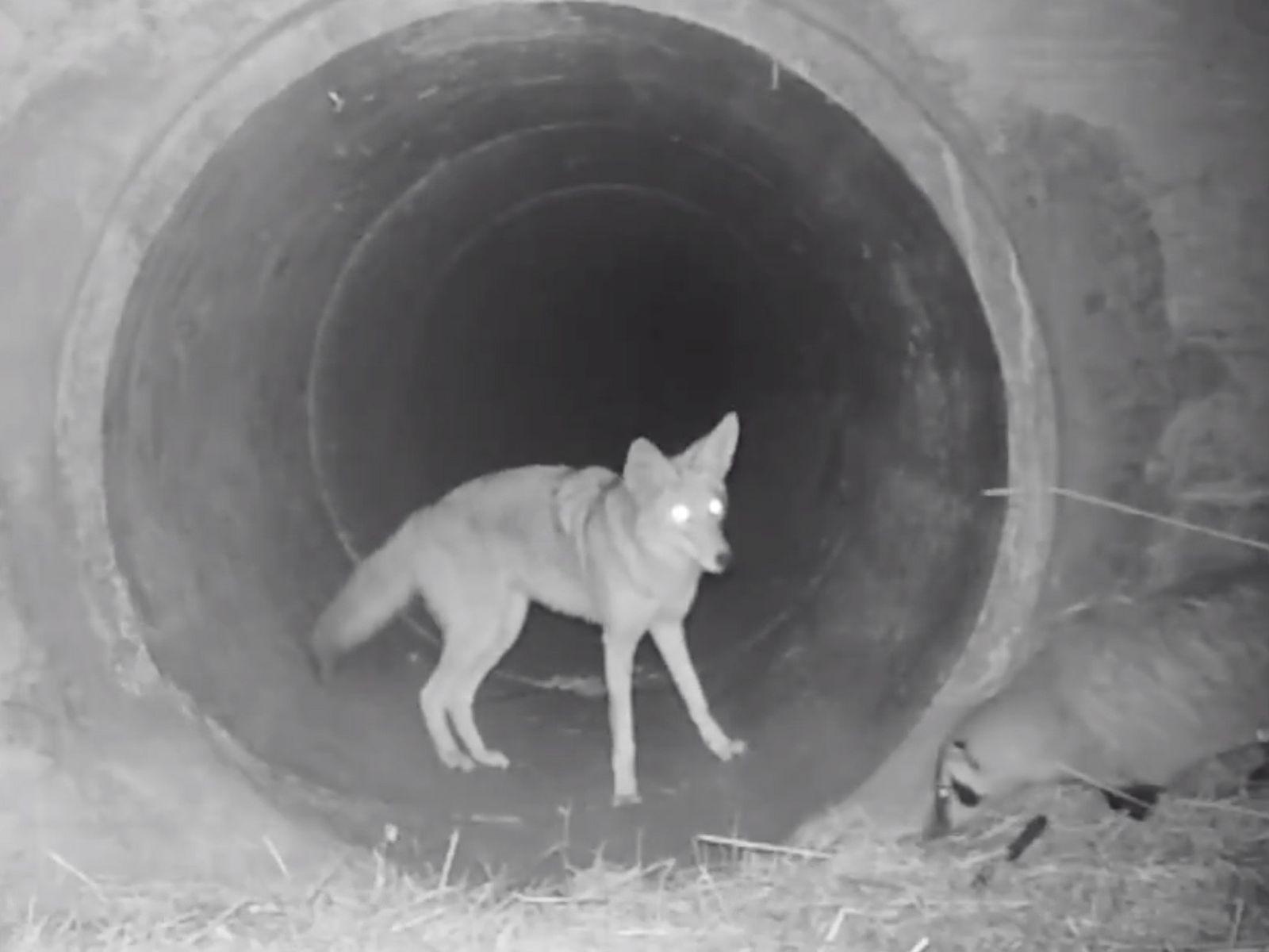 Um coiote à espera de um texugo para que este o siga em uma passagem subterrânea ...
