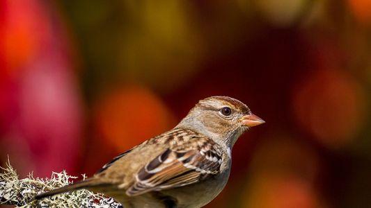 Declínio drástico de aves canoras está ligado a inseticida comum