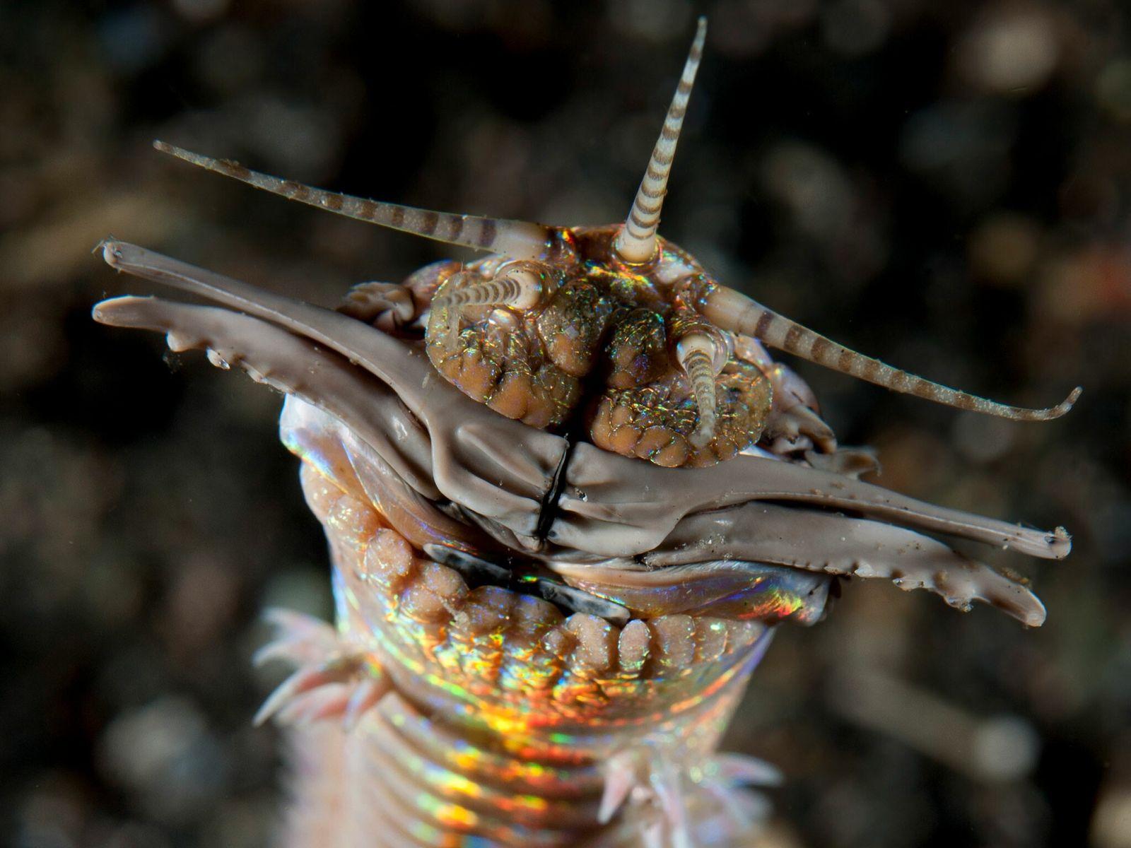 Gigantes vermes predadores vivem sob o solo marinho há mais de 20 milhões de anos, revelam fósseis