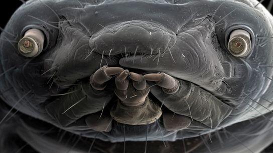 O rosto ampliado de uma ténia revela olhos expressivos e estruturas da boca. Ténias são a ...