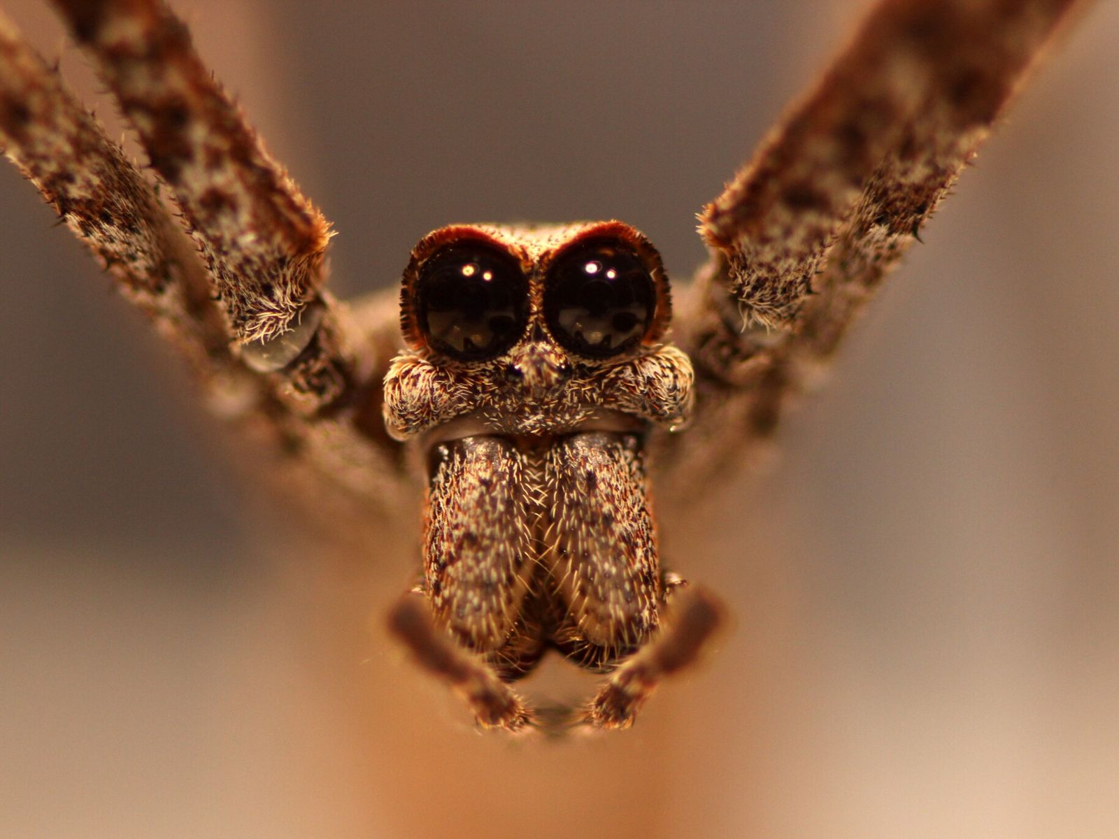 As aranhas-cara-de-ogro (família Deinopidae) têm oito olhos, mas são as duas esferas enormes na parte frontal ...