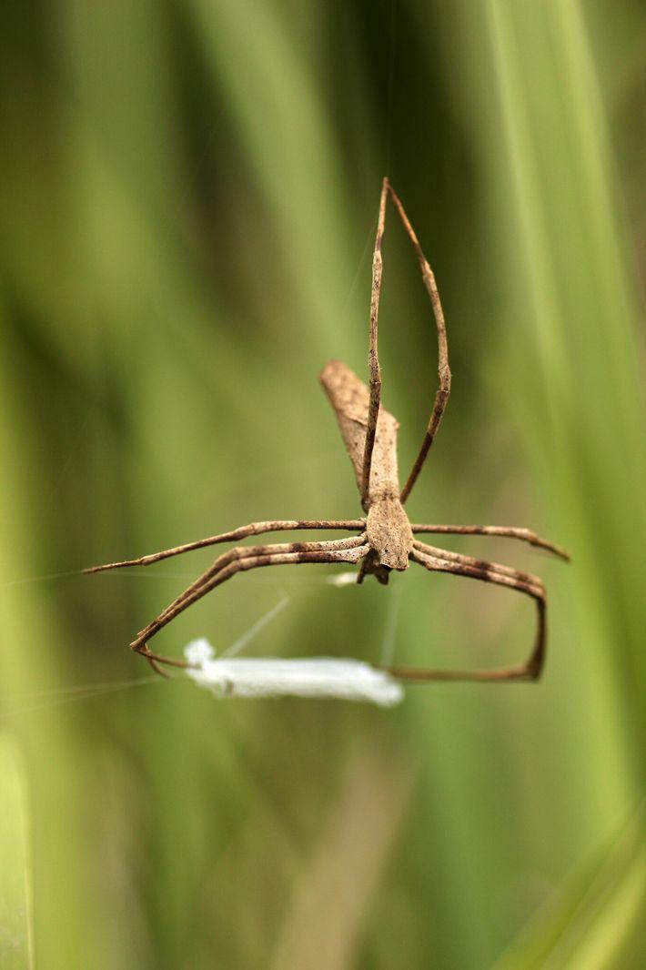 De acordo com o estudo, as aranhas-cara-de-ogro constroem uma rede pegajosa de seda e, em seguida, ...