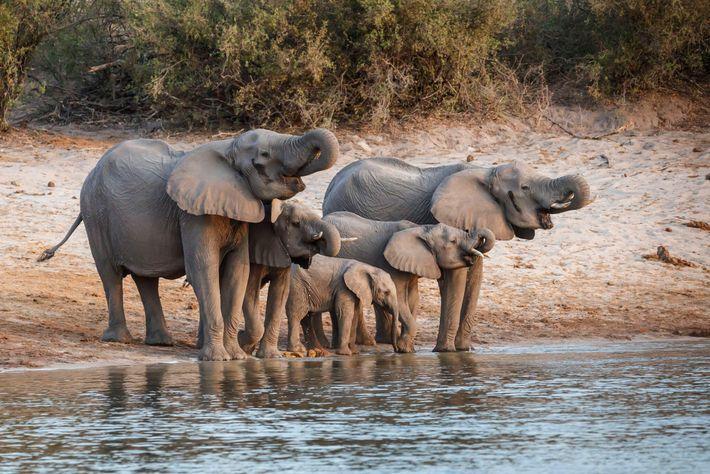 A maior manada de elefantes remanescente na savana africana passa pela região onde a ReconAfrica tem ...