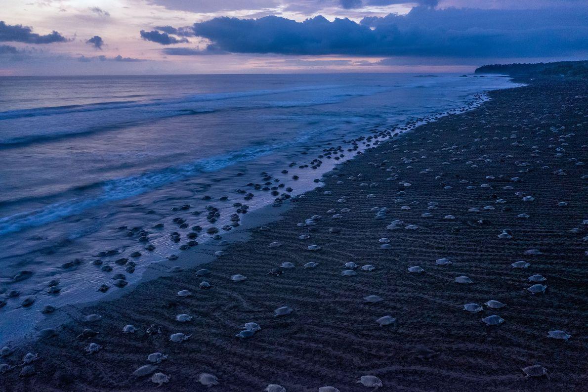 Uma ou duas vezes por mês durante a estação chuvosa da Costa Rica, milhares de tartarugas-oliva ...