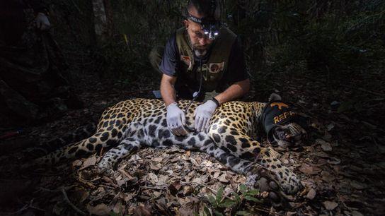 O médico veterinário Thiago Luczinski avalia uma onça-pintada no Pantanal. Com a destruição dos habitats e consequente ...