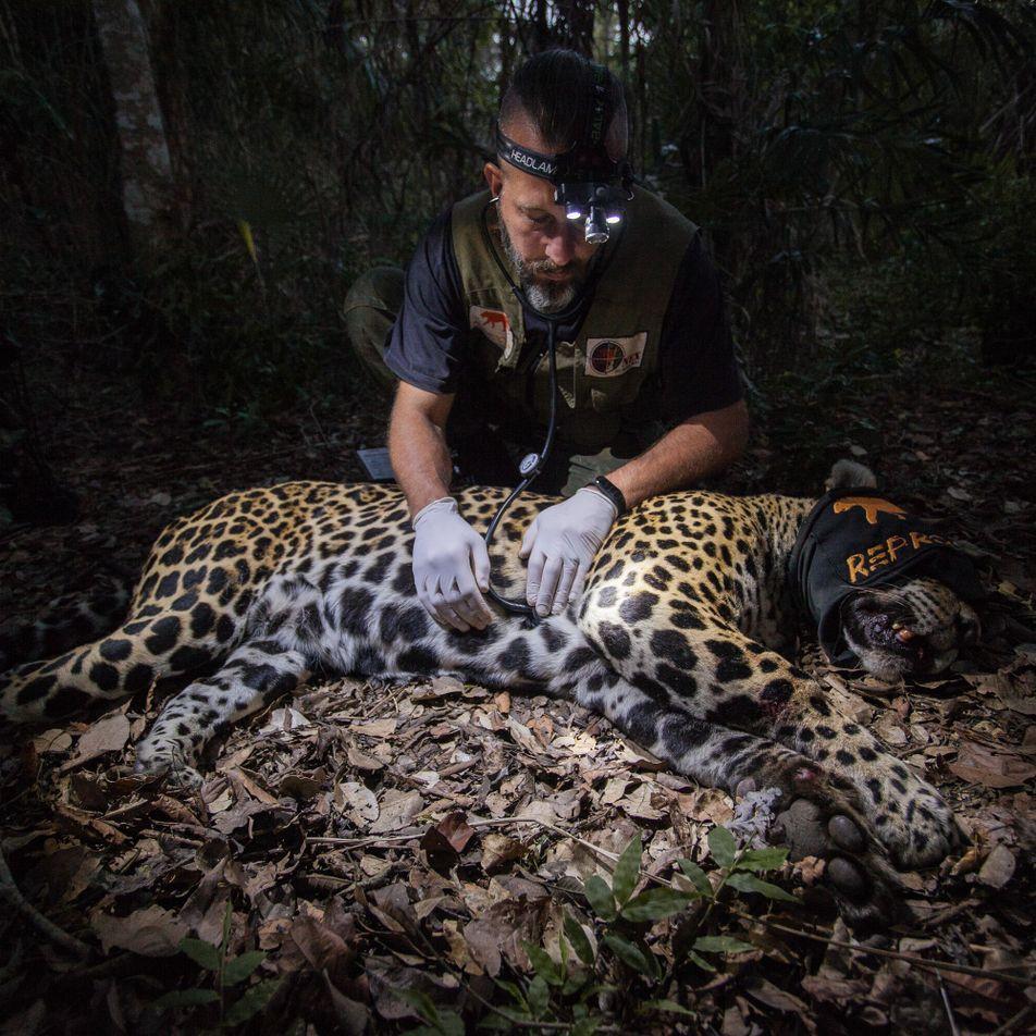 No Pantanal, cientistas colhem sêmen de onças para salvar populações isoladas