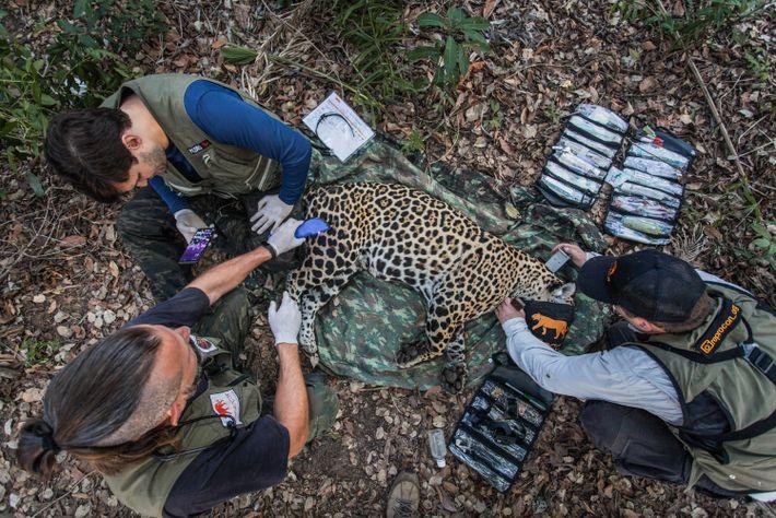Equipe do Instituto Reprocon avalia uma onça-pintada capturada e sedada no Pantanal Sul-Matogrossense. Para auxiliar no ...