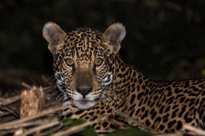 Filhote de onça capturado por armadilha laço no Pantanal. A avaliação de filhotes separados da mãe é, ...