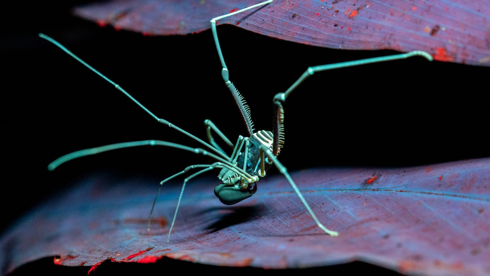 Fotografia ultravioleta revela fluorescência de opilião da família Stygnidae na noite amazônica. A função da fluorescência UV em ...