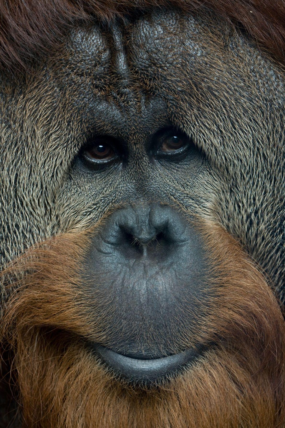 Populações individuais de orangotangos na natureza têm comportamentos aprendidos únicos — como usar galhos com muitas ...