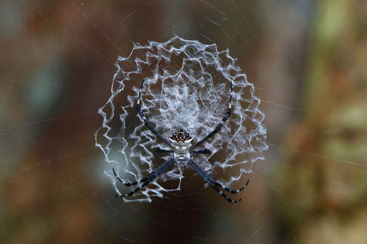 Uma aranha da espécie Argiope savignyi no centro da sua teia.