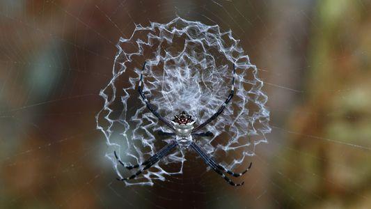 Fotos: Aranhas e a versatilidade de suas teias