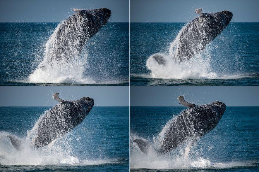 Jubarte coloca quase todo o corpo para fora da água próximo ao litoral de Ilhabela (SP). ...