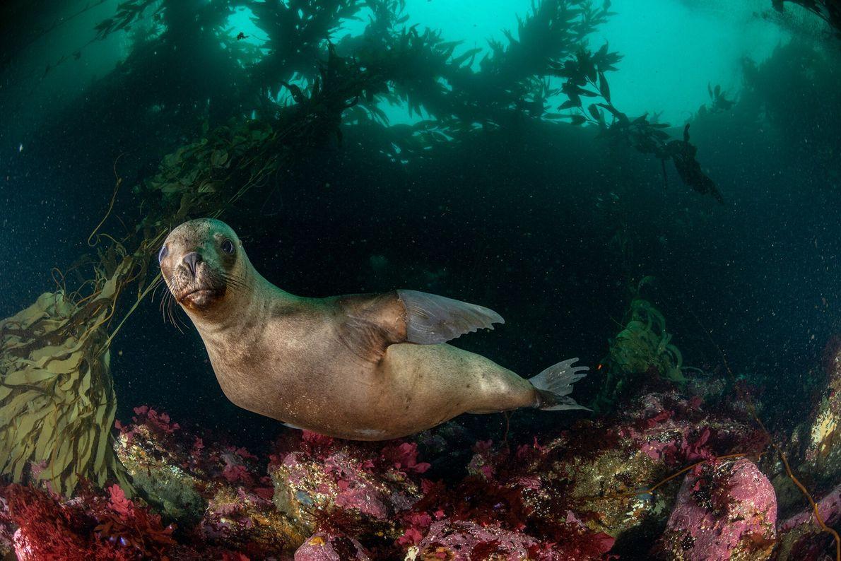 Um leão-marinho-do-sul nada próximo à Ilha dos Estados, na parte argentina da Terra do Fogo. O ...