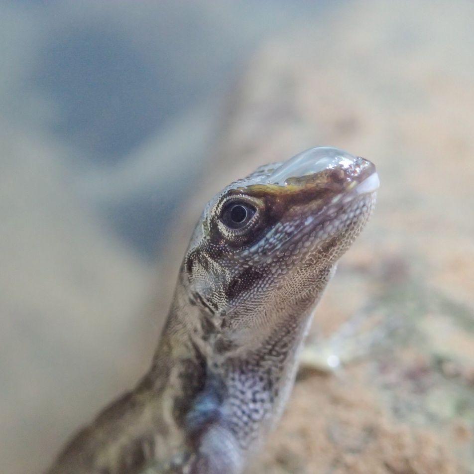 Conheça os lagartos que usam bolhas para respirar debaixo d'água