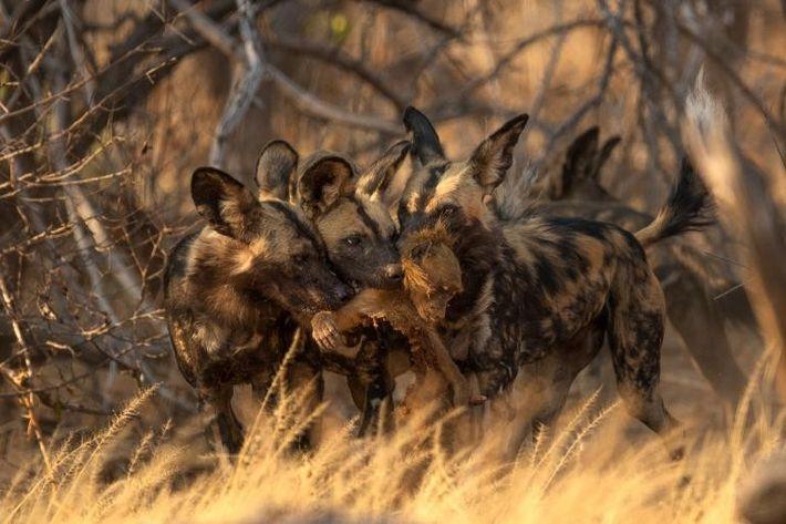 Três mabecos dividem a conquista de uma caçada matinal de babuínos.