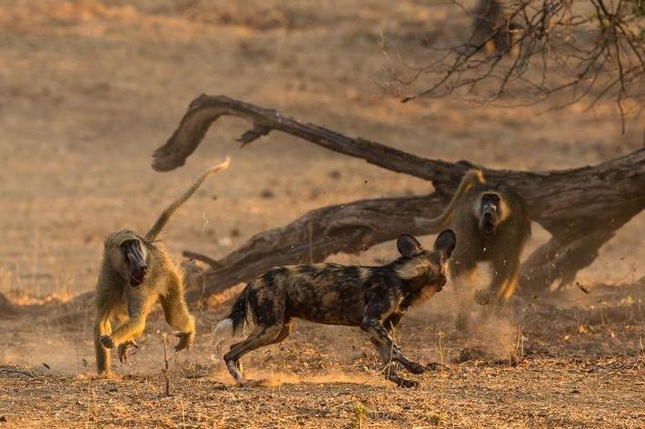 Inicialmente, os babuínos ficaram surpresos de serem caçados por mabecos. Agora, estão aprendendo a revidar.