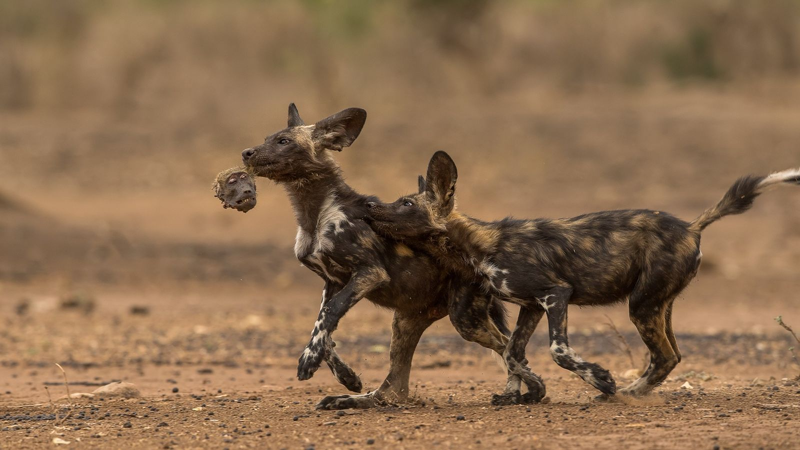 Dois filhotes de mabecos brincam num pega-pega macabro com a cabeça de um babuíno—as sobras do ...