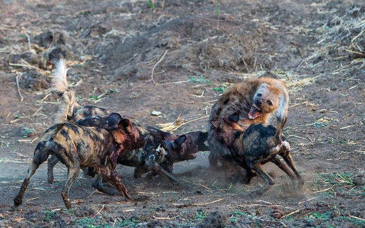 Os mabecos são frequentemente atacados por hienas, que tentam matar os filhotes e roubar a presa. ...
