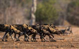 Abaixados, com a coluna reta e concentrados, os mabecos entram em modo de camuflagem para se ...