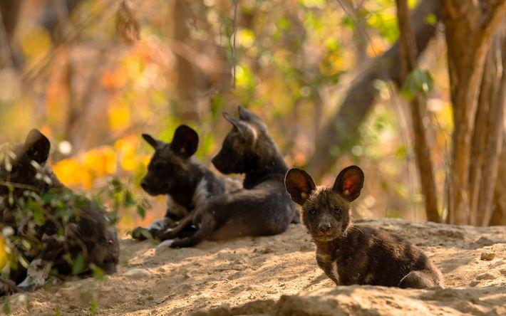 Após cerca de um mês, as orelhas flexíveis dos filhotes de mabecos adquirem o formato de ...