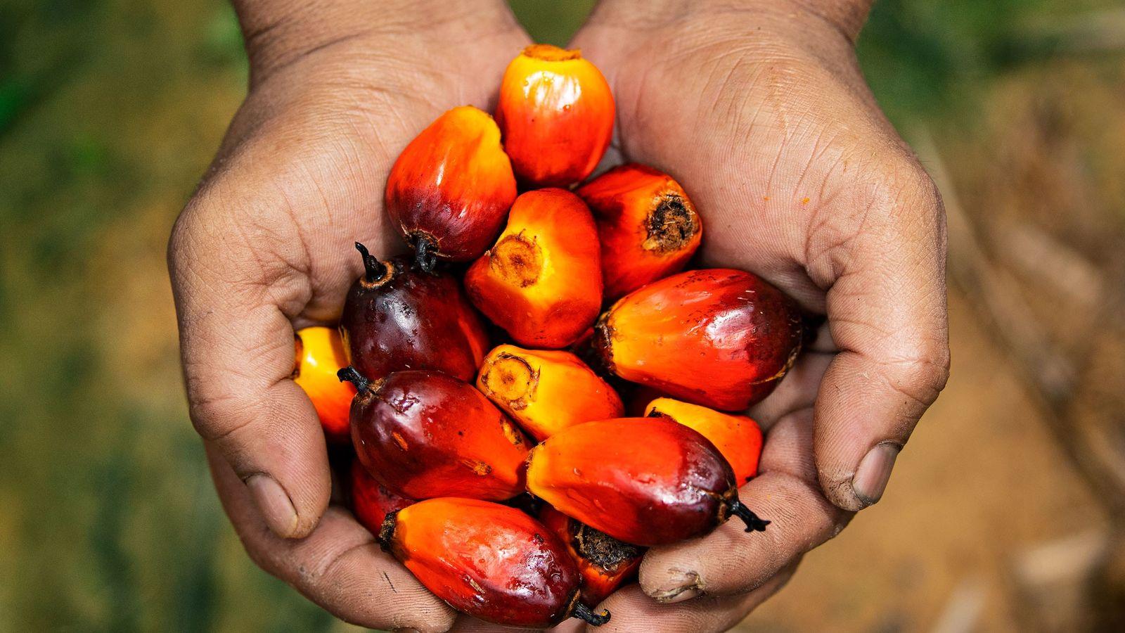Um trabalhador em uma plantação na Malásia exibe os frutos da palma—fonte do óleo comestível mais ...