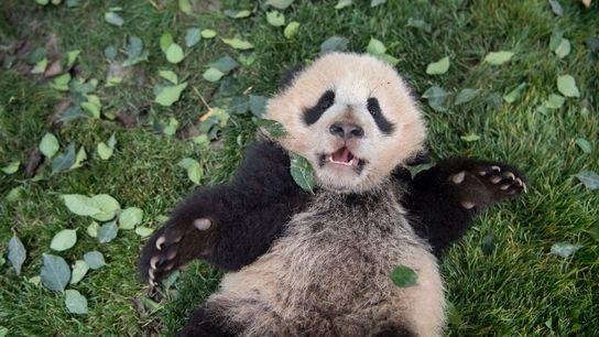 Um filhote de panda-gigante deitado na grama no Centro de Conservação e Pesquisa do Panda-Gigante de ...