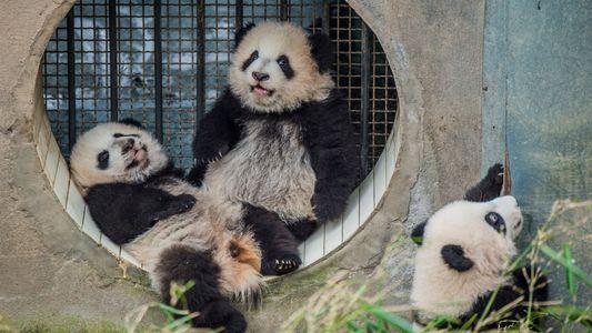A surpreendente dificuldade em fotografar pandas