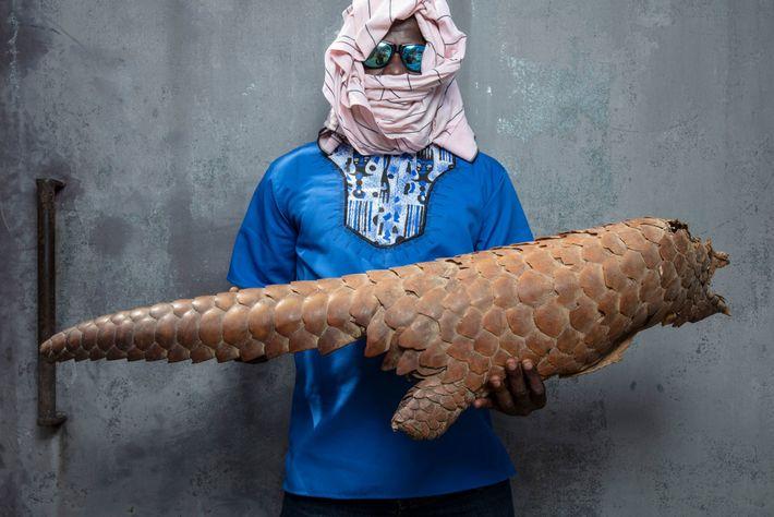 Fiscal na Costa do Marfim, cobrindo o rosto para proteger sua identidade, segura exoesqueleto de pangolim-gigante ...