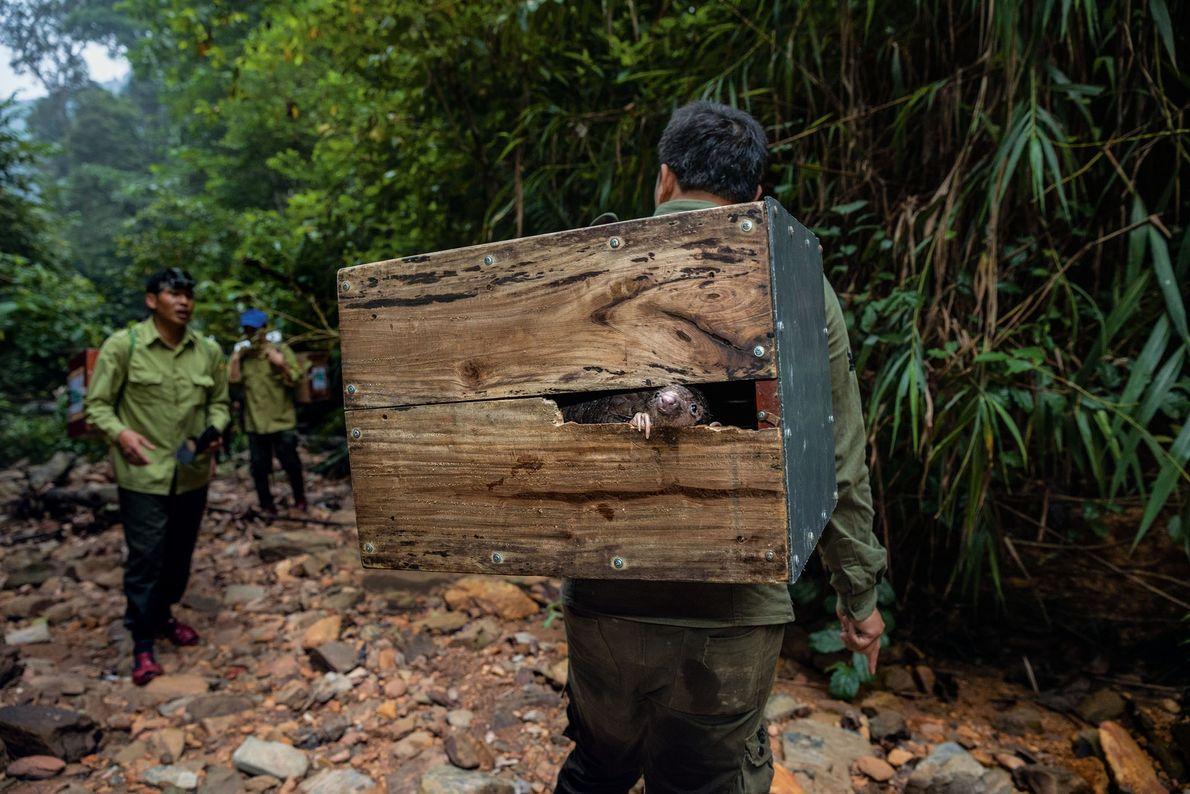 Um pangolim espia de dentro de uma caixa a caminho de uma montanha remota no Vietnã, ...