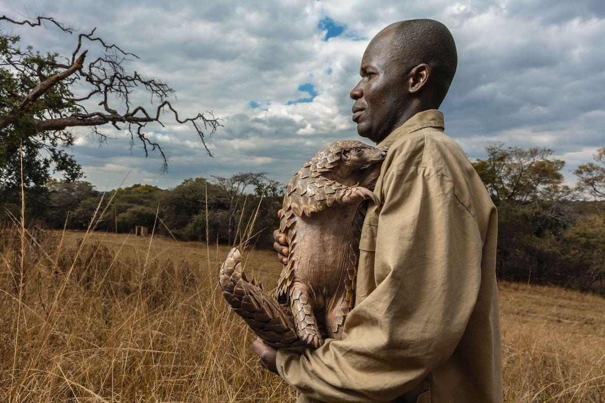 Na Fundação Tikki Hywood, no Zimbábue, cada pangolim resgatado — como o Tamuda, nesta foto — ...